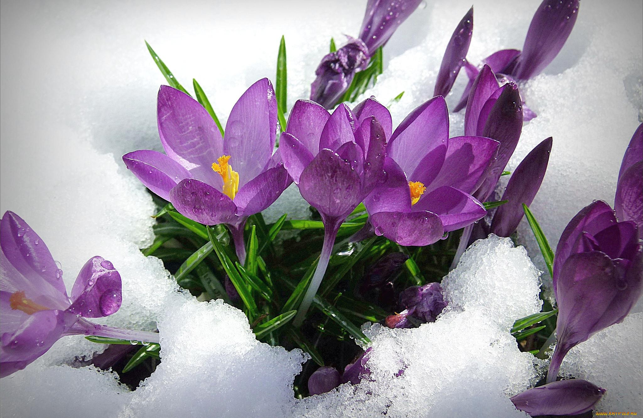 одежду открытки крокусы в снегу будет видна
